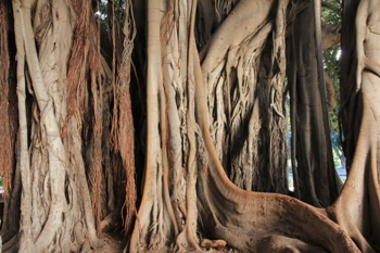 grobblättriger Feigenbaum | Palermo
